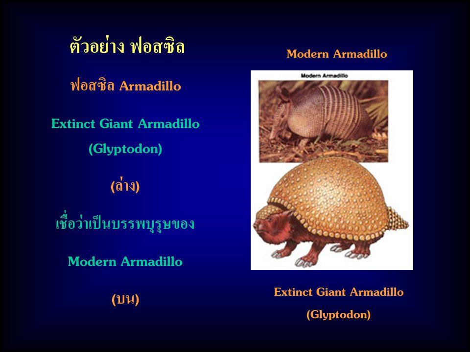 ตัวอย่าง ฟอสซิล ฟอสซิล Armadillo Extinct Giant Armadillo (Glyptodon)