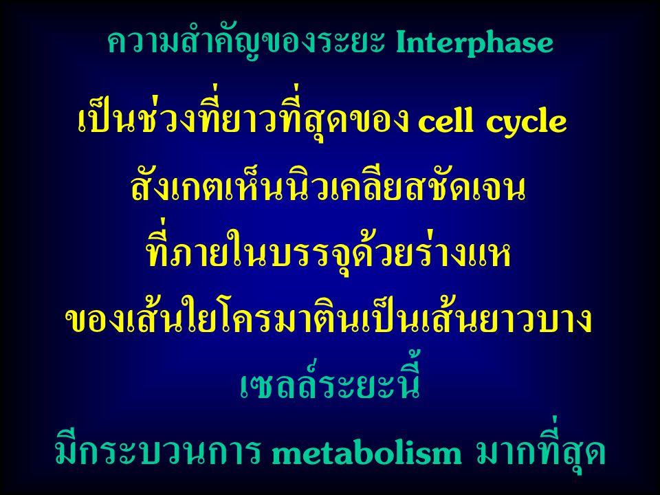 เป็นช่วงที่ยาวที่สุดของ cell cycle สังเกตเห็นนิวเคลียสชัดเจน