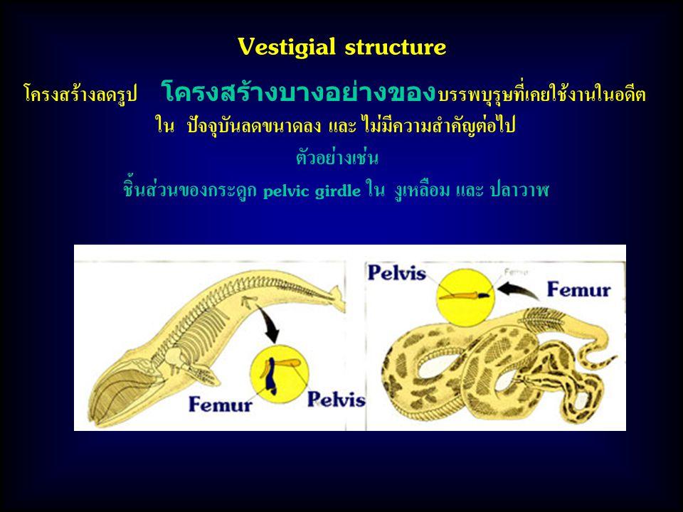 Vestigial structure โครงสร้างลดรูป โครงสร้างบางอย่างของบรรพบุรุษที่เคยใช้งานในอดีต. ใน ปัจจุบันลดขนาดลง และ ไม่มีความสำคัญต่อไป.