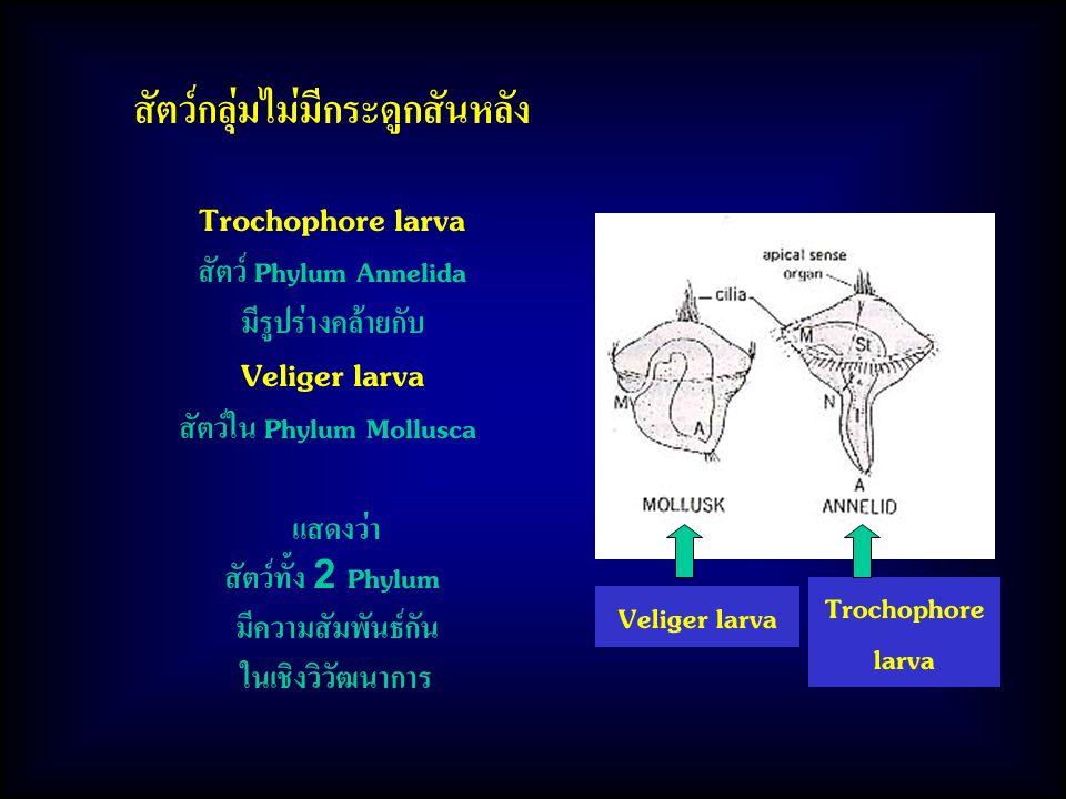 สัตว์กลุ่มไม่มีกระดูกสันหลัง สัตว์ใน Phylum Mollusca
