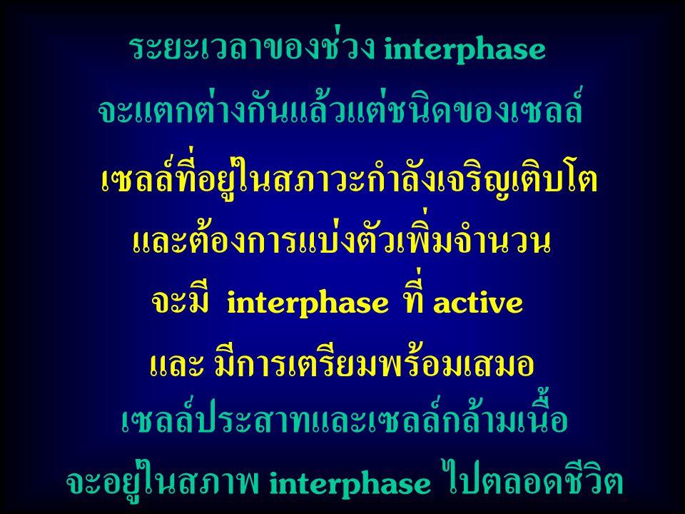 ระยะเวลาของช่วง interphase จะแตกต่างกันแล้วแต่ชนิดของเซลล์