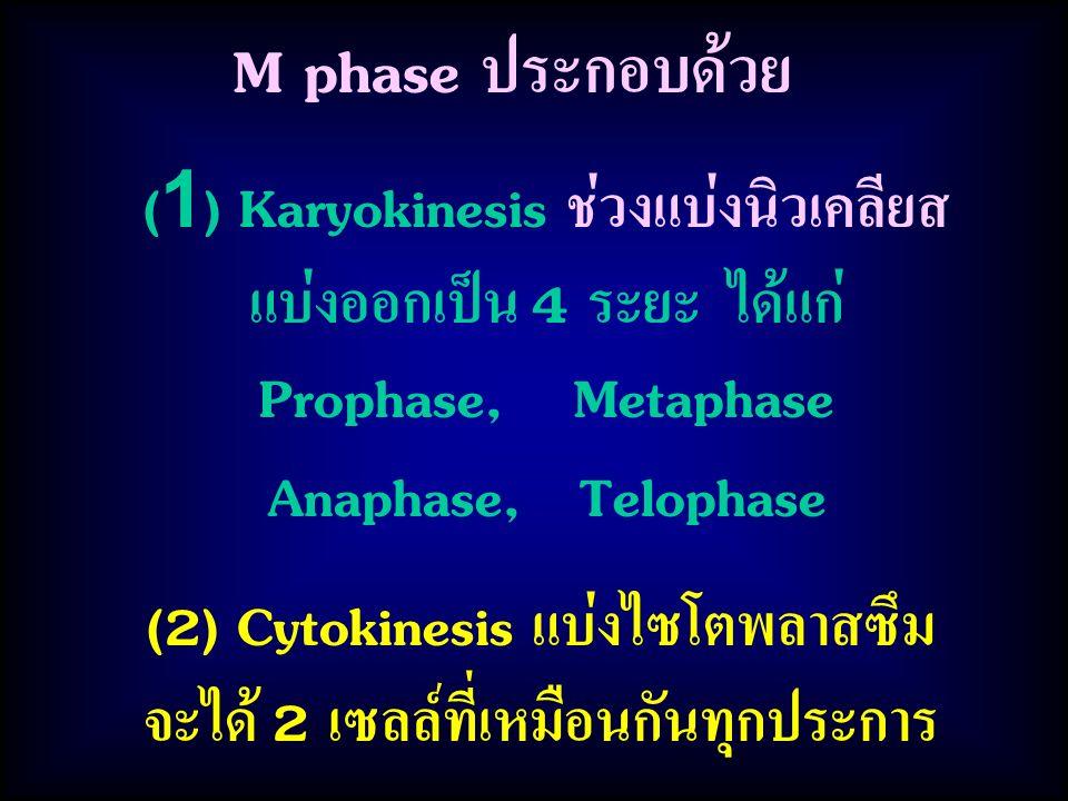 M phase ประกอบด้วย (1) Karyokinesis ช่วงแบ่งนิวเคลียส