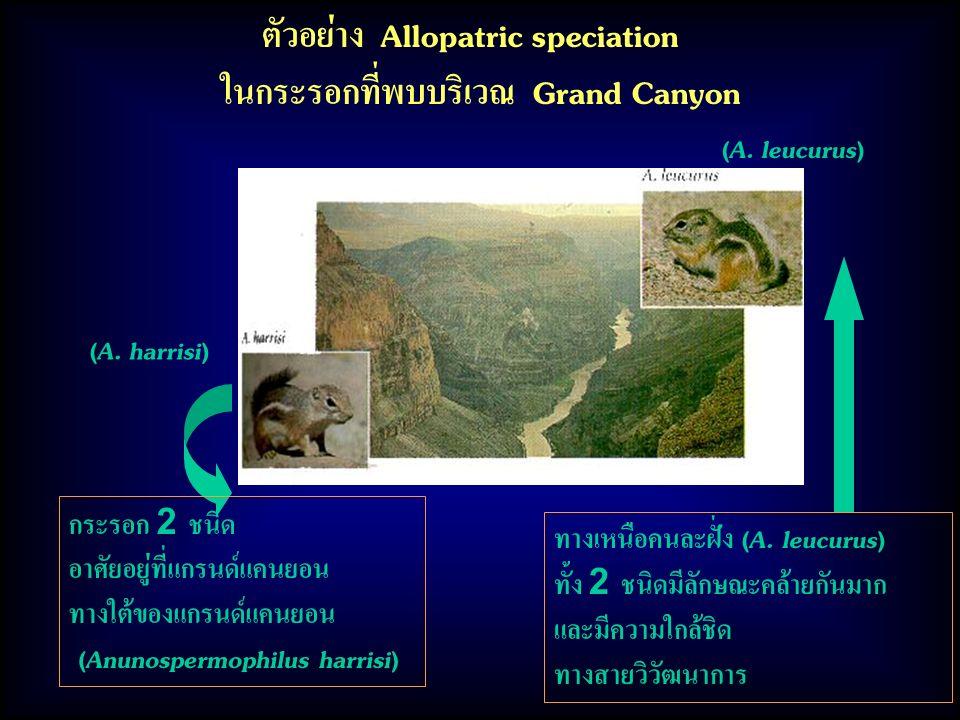 ตัวอย่าง Allopatric speciation ในกระรอกที่พบบริเวณ Grand Canyon