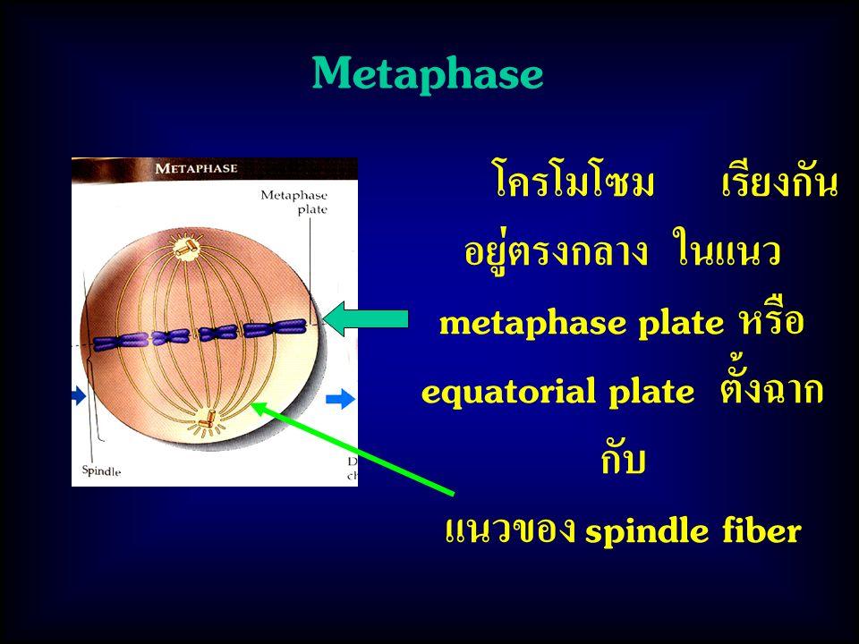Metaphase แนวของ spindle fiber