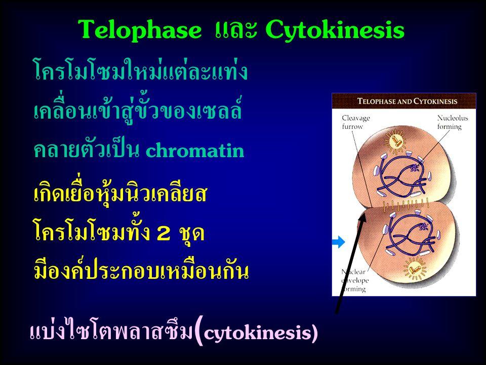 Telophase และ Cytokinesis