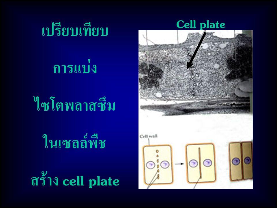 เปรียบเทียบ การแบ่ง ไซโตพลาสซึม ในเซลล์พืช สร้าง cell plate