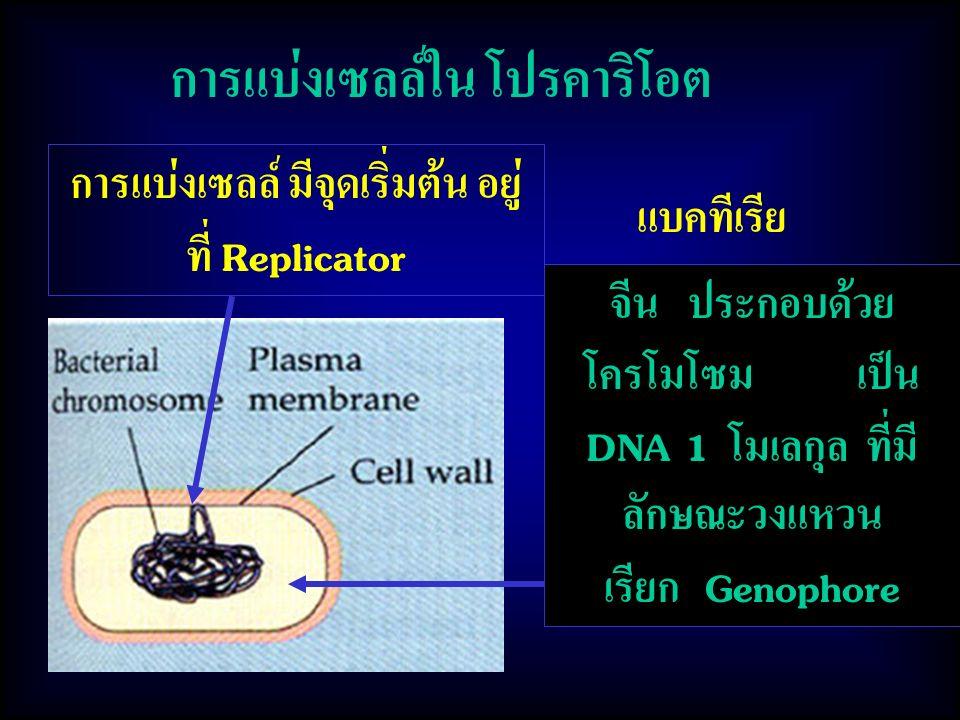 การแบ่งเซลล์ มีจุดเริ่มต้น อยู่ที่ Replicator