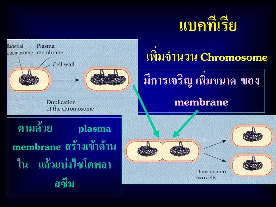 เพิ่มจำนวน Chromosome มีการเจริญ เพิ่มขนาด ของ membrane
