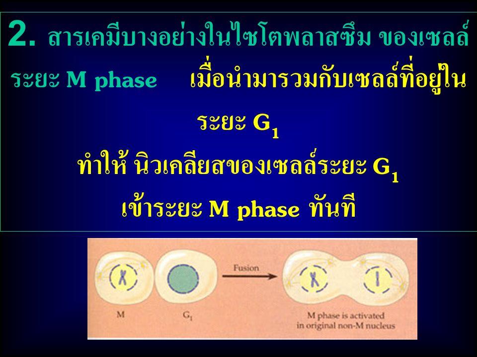 ทำให้ นิวเคลียสของเซลล์ระยะ G1