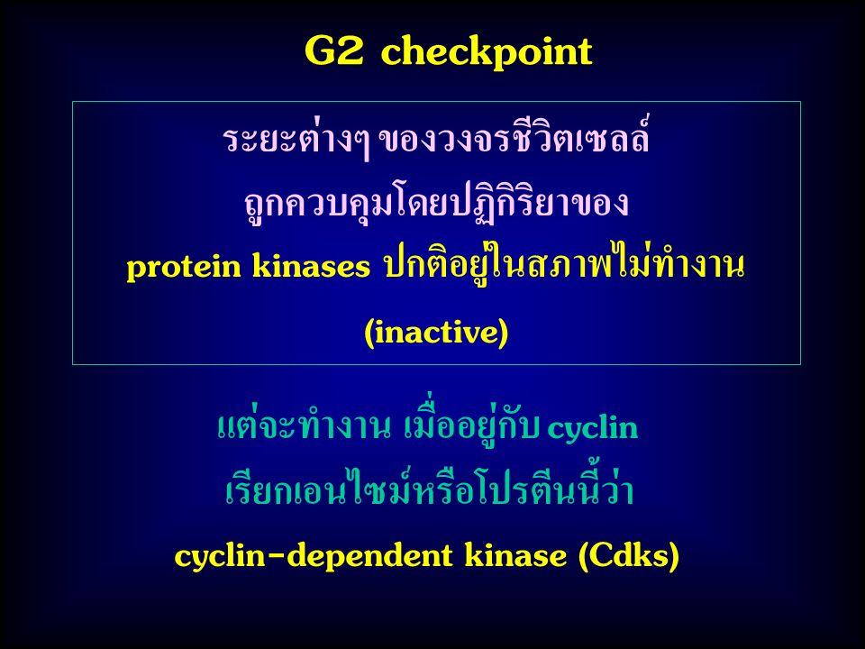 G2 checkpoint ระยะต่างๆ ของวงจรชีวิตเซลล์ ถูกควบคุมโดยปฏิกิริยาของ