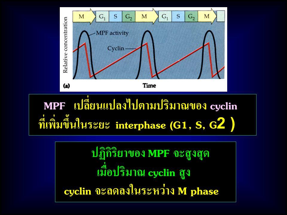 MPF เปลี่ยนแปลงไปตามปริมาณของ cyclin