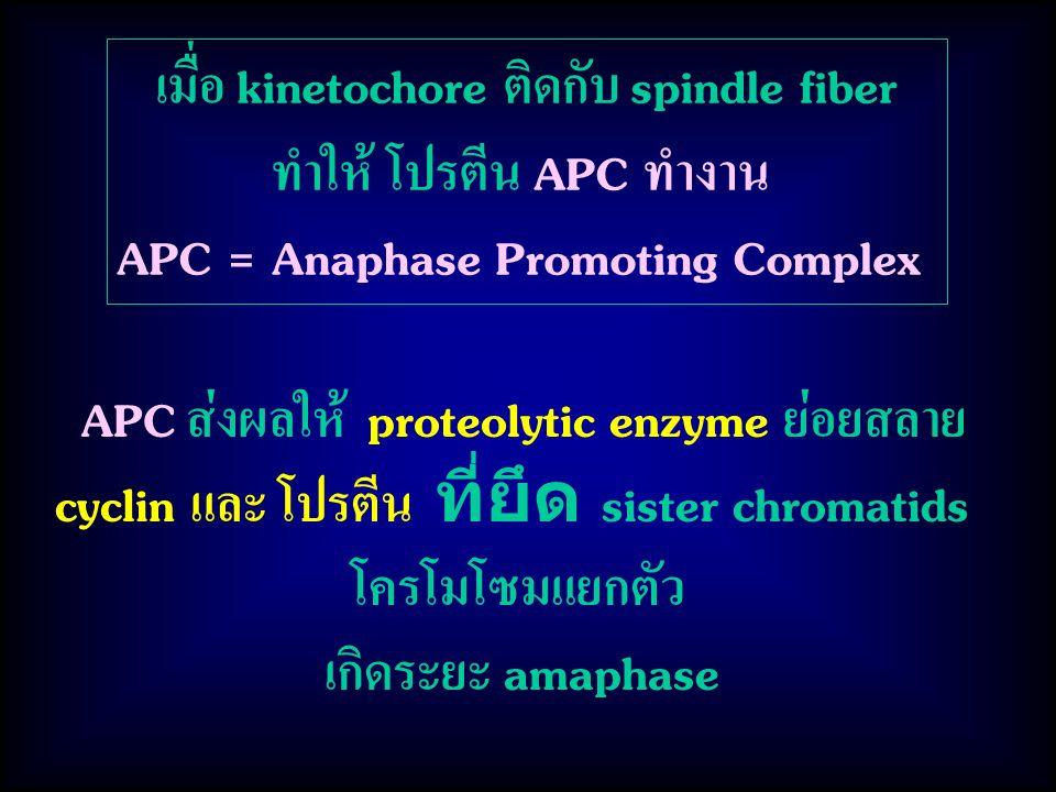 เมื่อ kinetochore ติดกับ spindle fiber ทำให้ โปรตีน APC ทำงาน