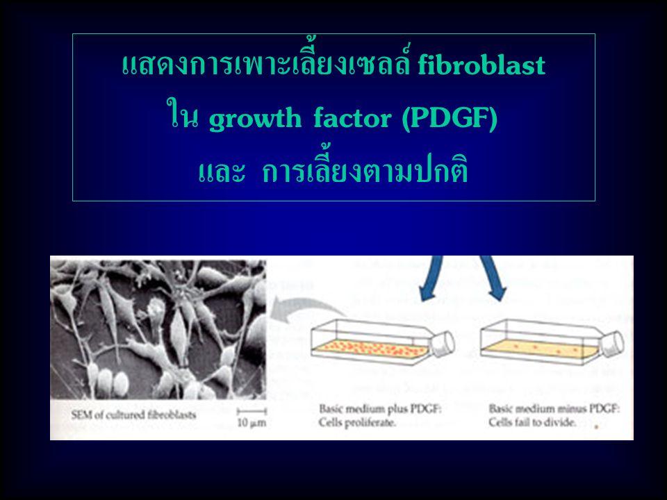 แสดงการเพาะเลี้ยงเซลล์ fibroblast ใน growth factor (PDGF)