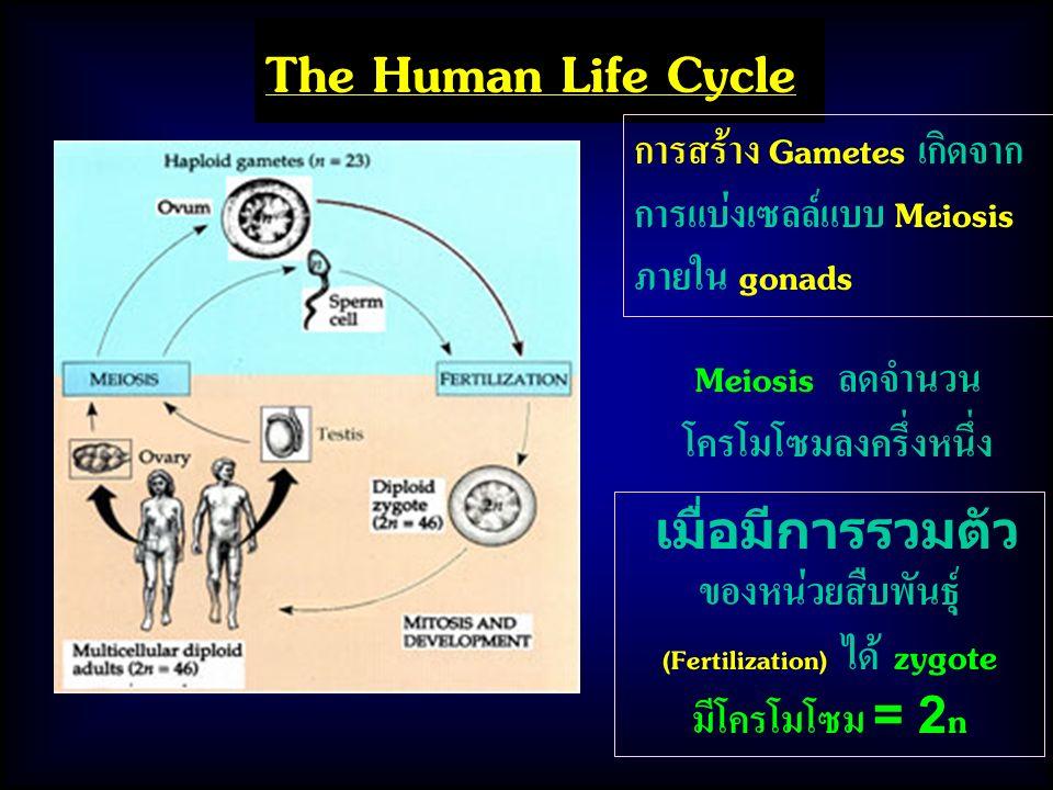 Meiosis ลดจำนวนโครโมโซมลงครึ่งหนึ่ง