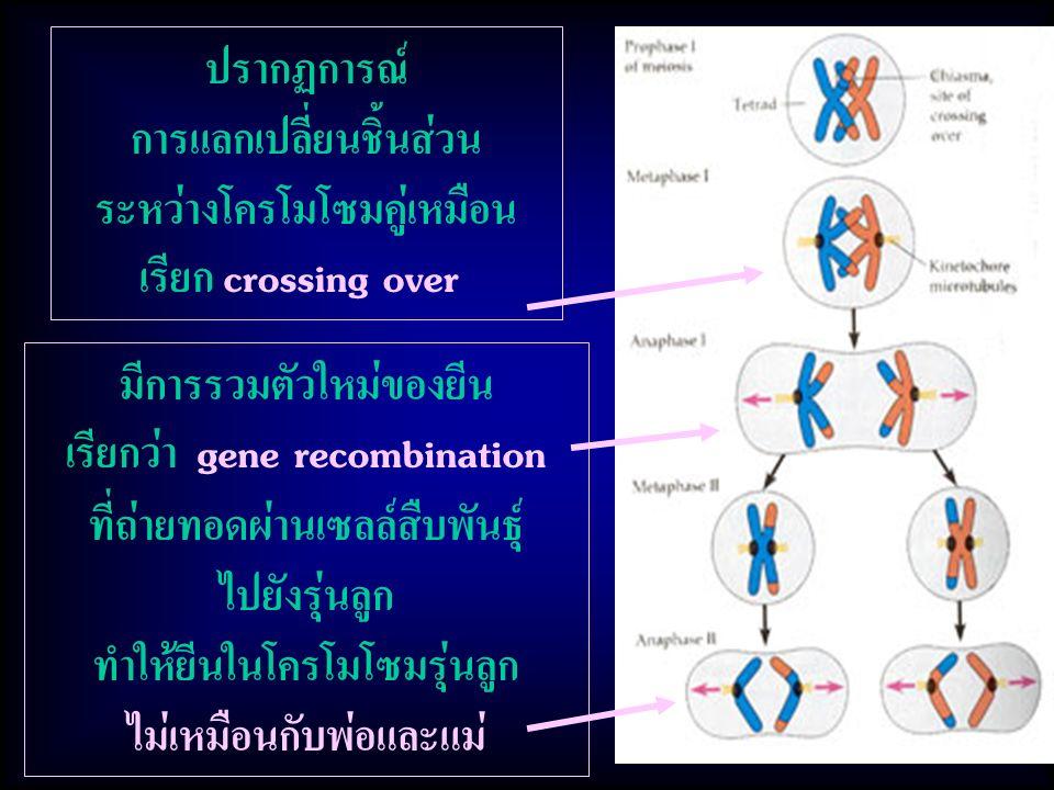 การแลกเปลี่ยนชิ้นส่วน ระหว่างโครโมโซมคู่เหมือน