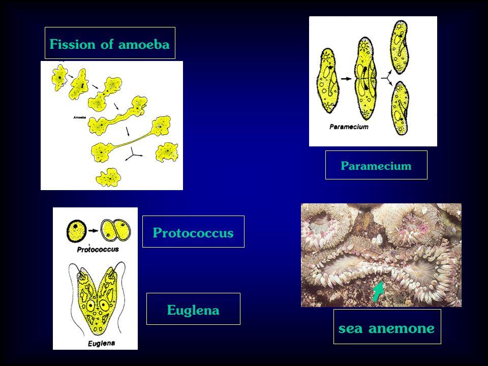 Paramecium Fission of amoeba sea anemone Protococcus Euglena