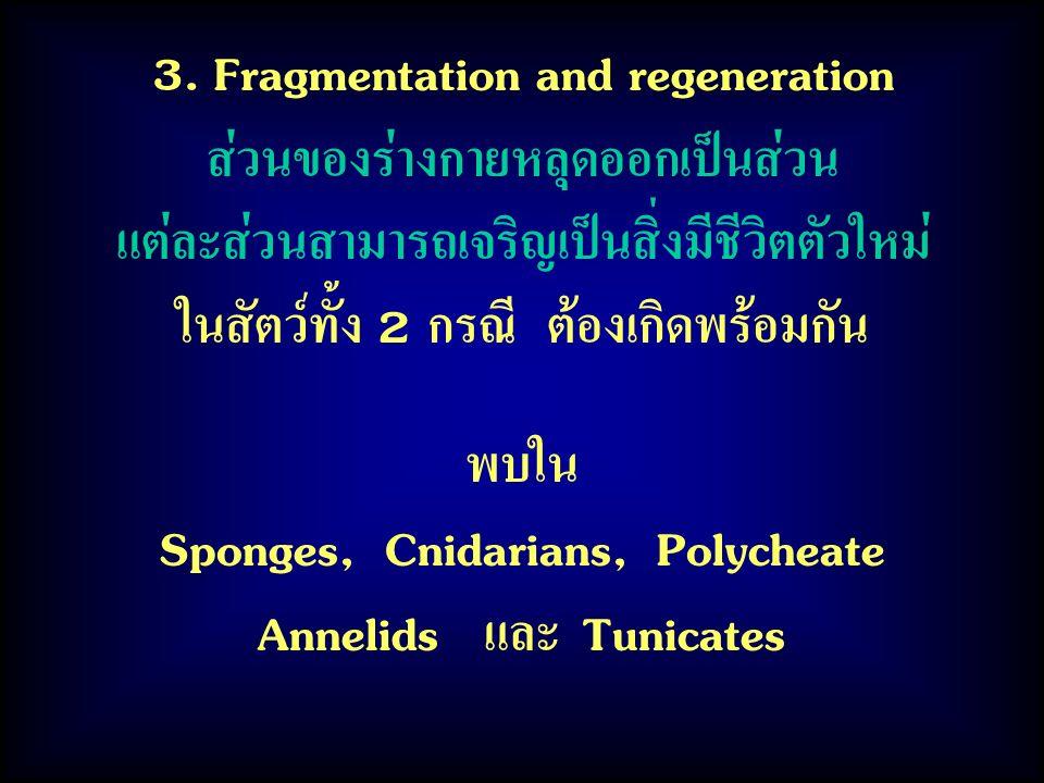 3. Fragmentation and regeneration ส่วนของร่างกายหลุดออกเป็นส่วน