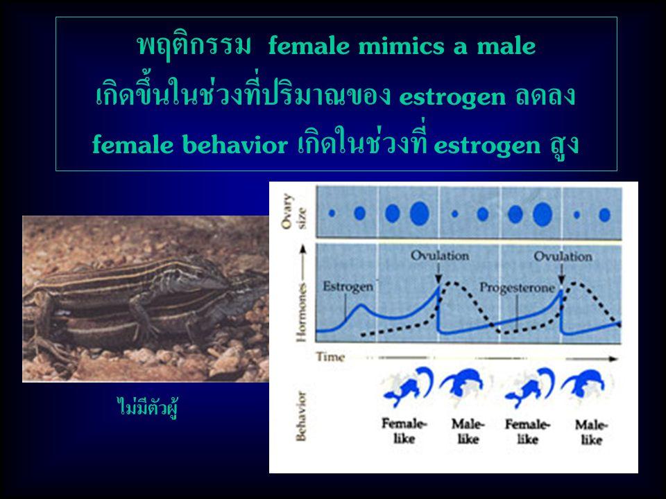 พฤติกรรม female mimics a male เกิดขึ้นในช่วงที่ปริมาณของ estrogen ลดลง