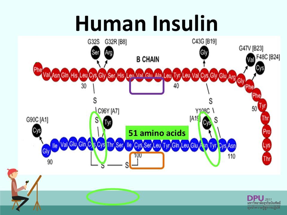Human Insulin 51 amino acids