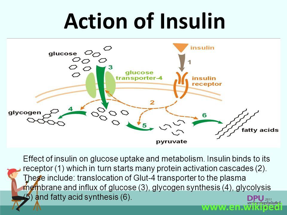 Action of Insulin www.en.wikipedia.org