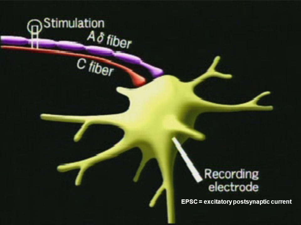 EPSC = excitatory postsynaptic current