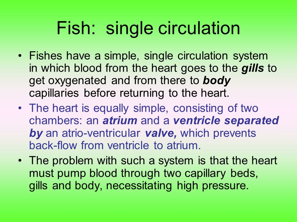 Fish: single circulation