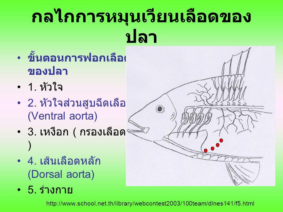 กลไกการหมุนเวียนเลือดของปลา
