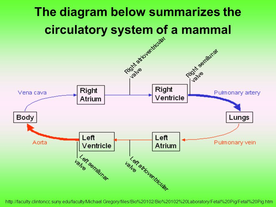 The diagram below summarizes the circulatory system of a mammal