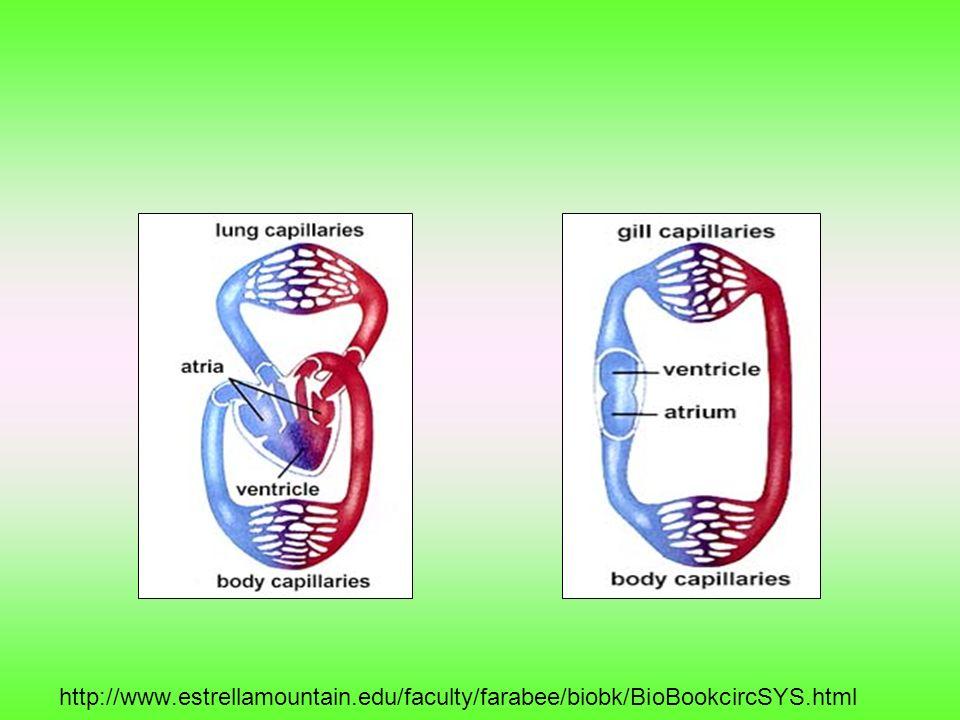 http://www. estrellamountain. edu/faculty/farabee/biobk/BioBookcircSYS