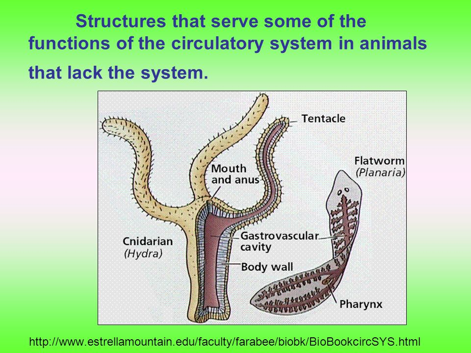 Structures that serve some of the functions of the circulatory system in animals that lack the system.