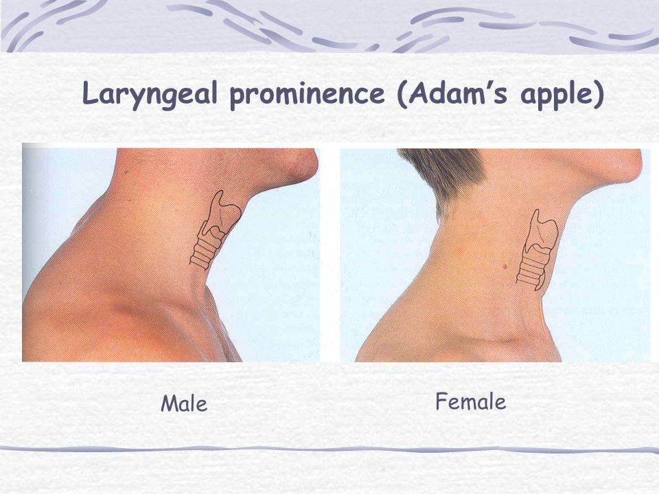 Laryngeal prominence (Adam's apple)
