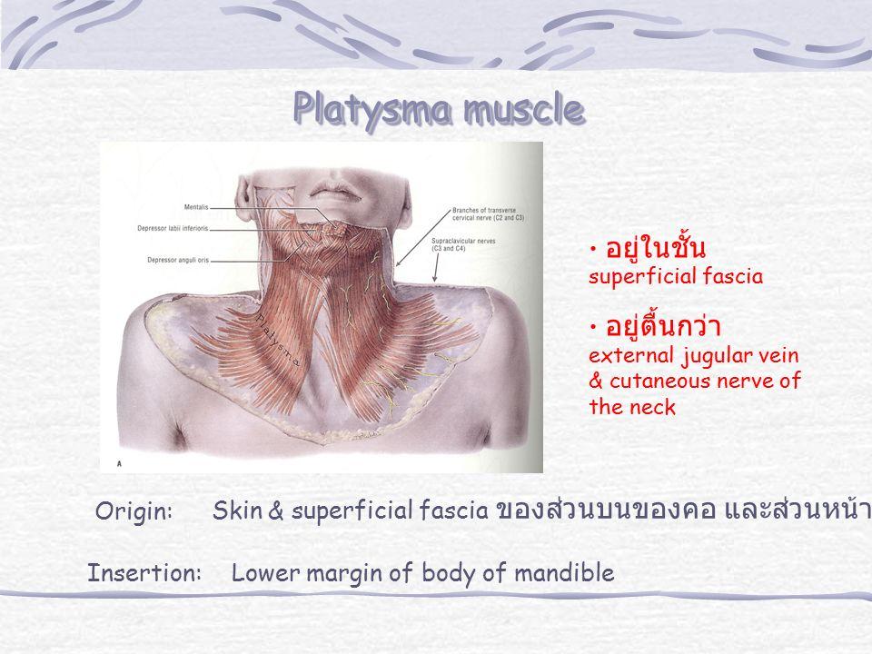 Platysma muscle อยู่ในชั้น superficial fascia