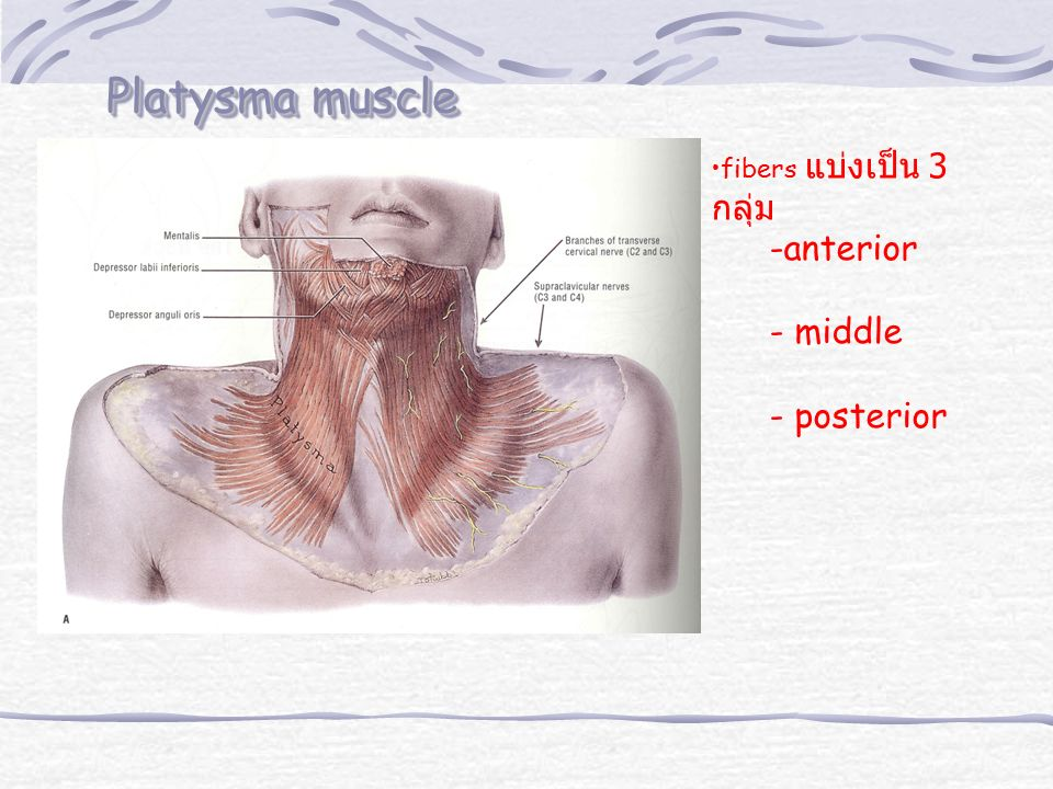 Platysma muscle fibers แบ่งเป็น 3 กลุ่ม anterior - middle - posterior