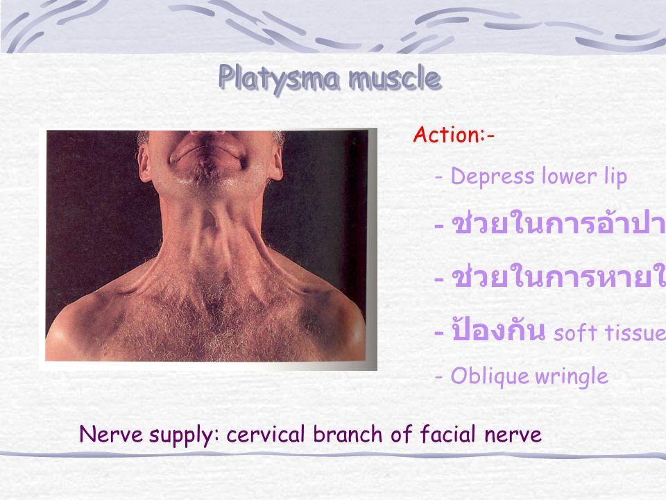 Platysma muscle - ช่วยในการอ้าปาก - ช่วยในการหายใจเข้า