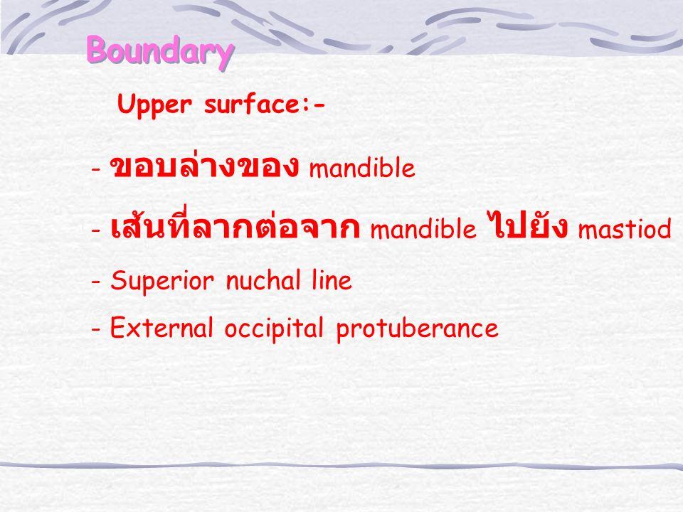 Boundary Upper surface:- - ขอบล่างของ mandible