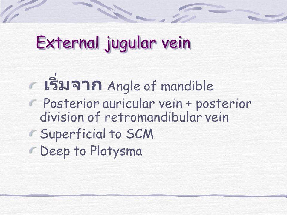 External jugular vein เริ่มจาก Angle of mandible