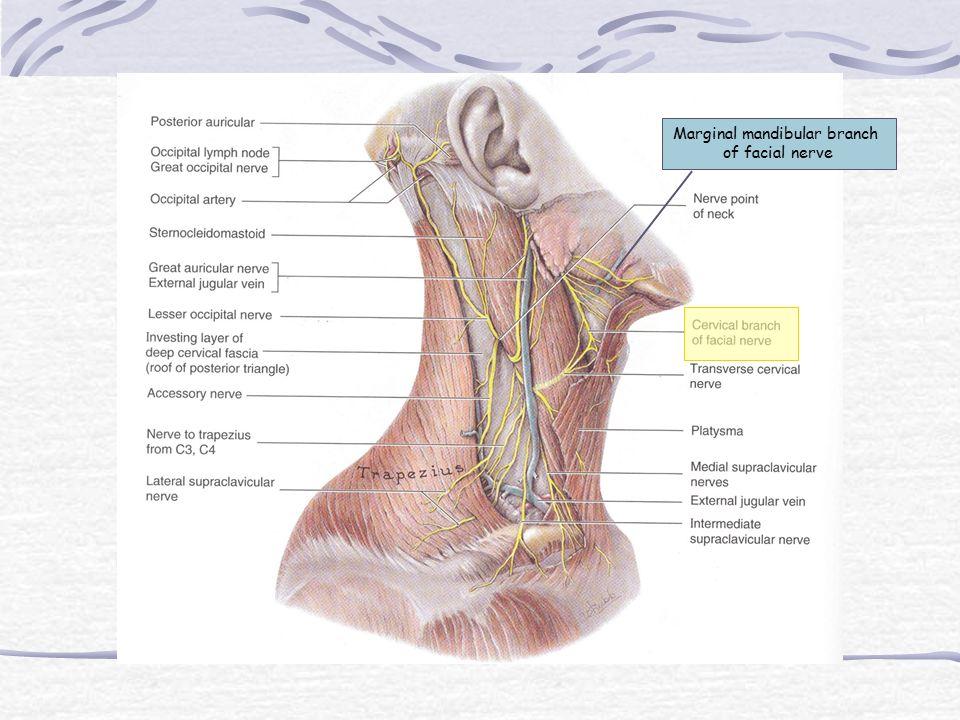Marginal mandibular branch