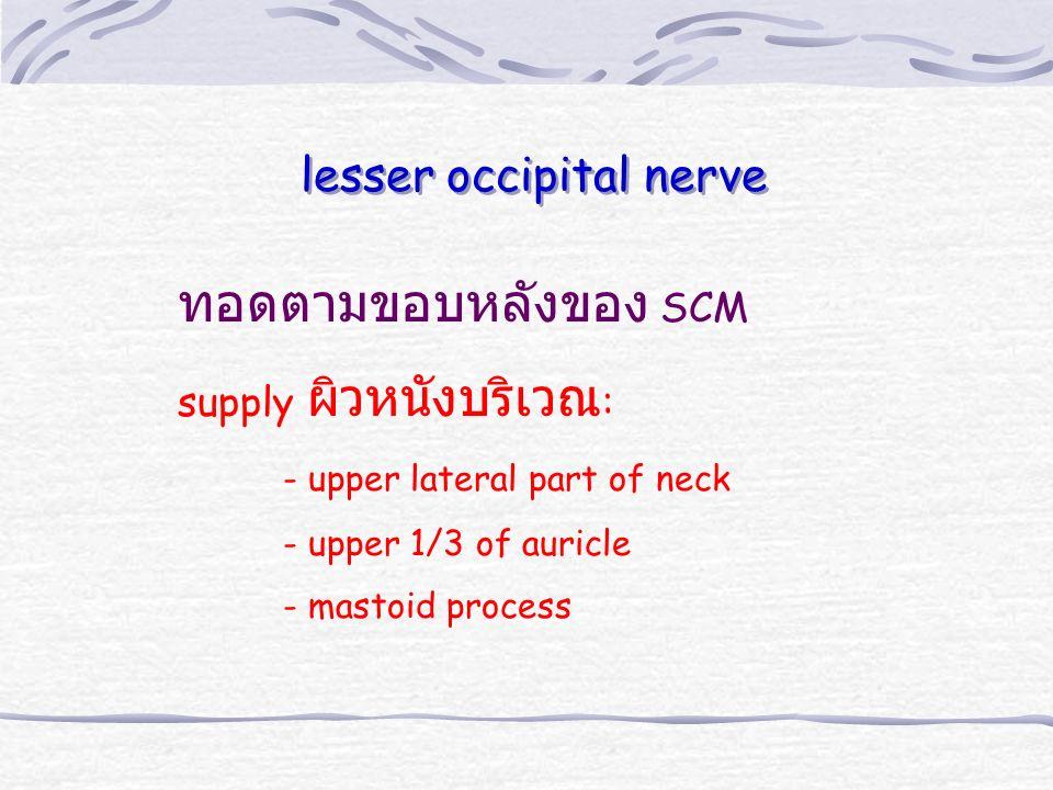ทอดตามขอบหลังของ SCM lesser occipital nerve supply ผิวหนังบริเวณ: