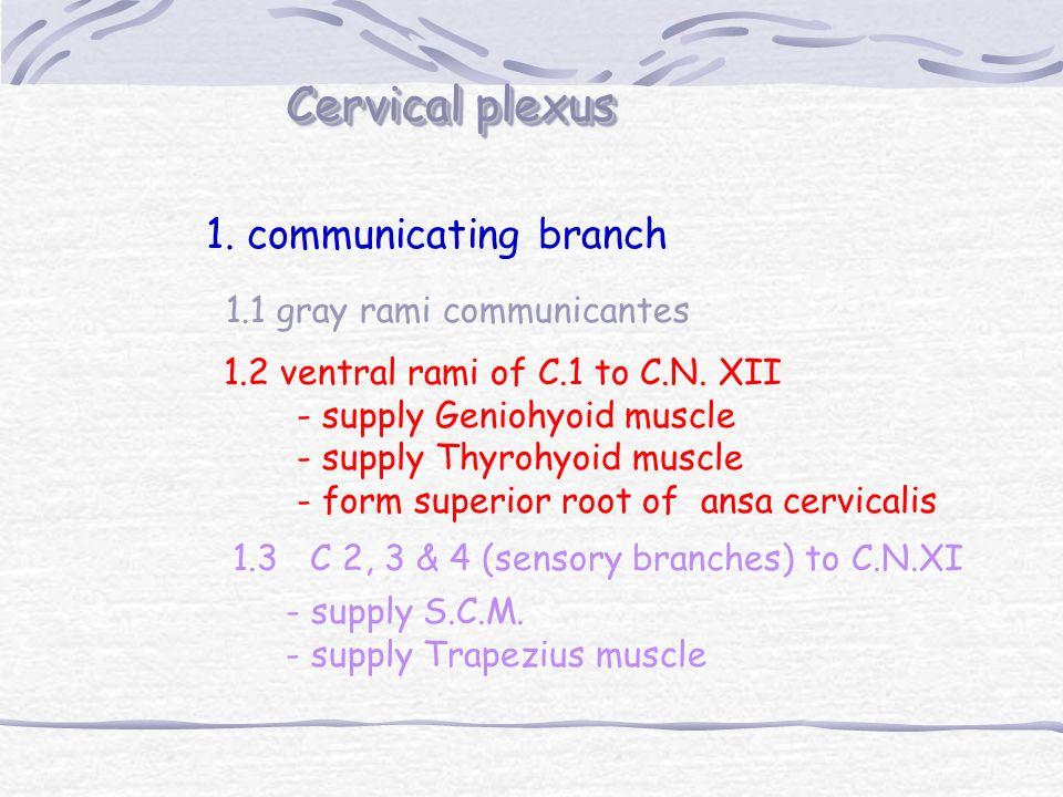 Cervical plexus 1. communicating branch 1.1 gray rami communicantes