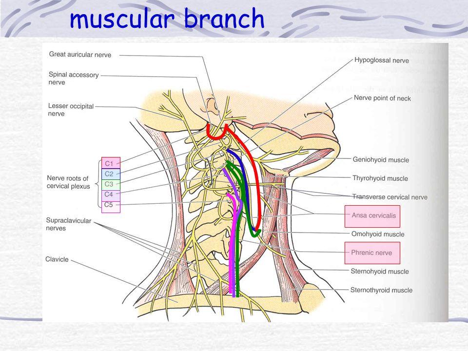 muscular branch