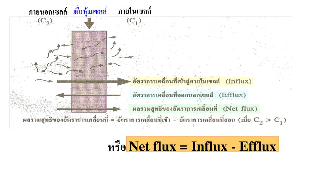 หรือ Net flux = Influx - Efflux