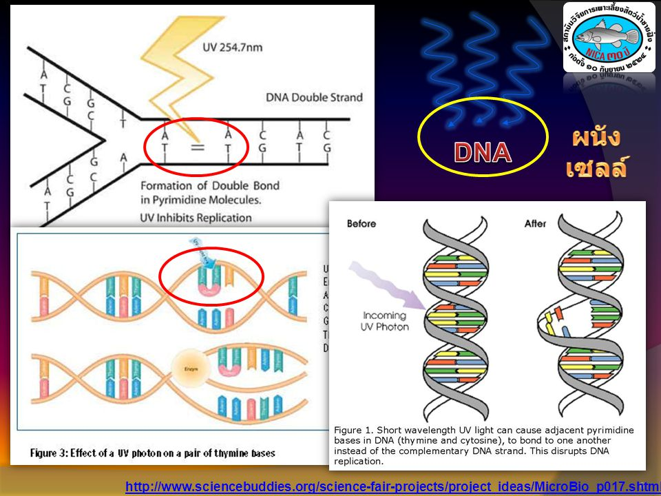 ผนังเซลล์ DNA http://www.sciencebuddies.org/science-fair-projects/project_ideas/MicroBio_p017.shtml
