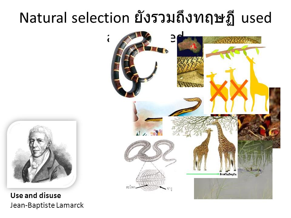 Natural selection ยังรวมถึงทฤษฏี used and disused
