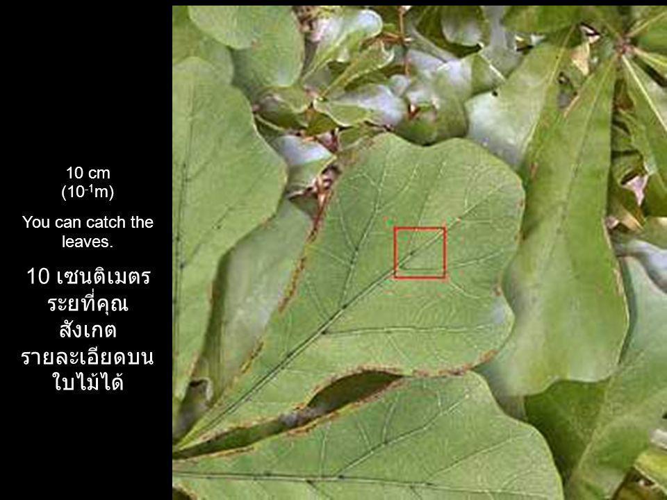 10 เซนติเมตร ระยที่ คุณสังเกตรายละเอียด บนใบไม้ได้