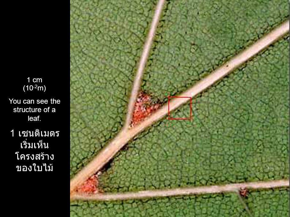 1 เซนติเมตร เริ่ม เห็นโครงสร้างของ ใบไม้