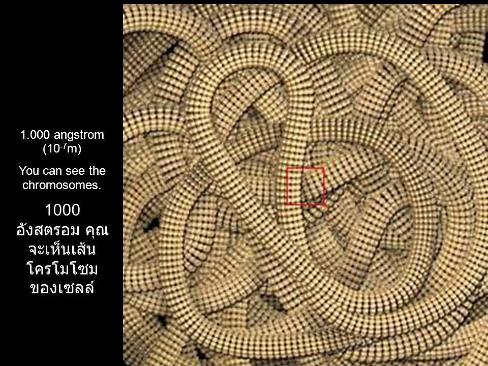 1000 อังสตรอม คุณจะเห็นเส้น โครโมโซมของเซลล์