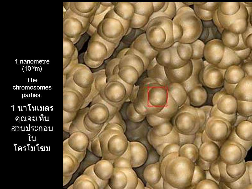 1 นาโนเมตร คุณ จะเห็น ส่วนประกอบใน โครโมโซม