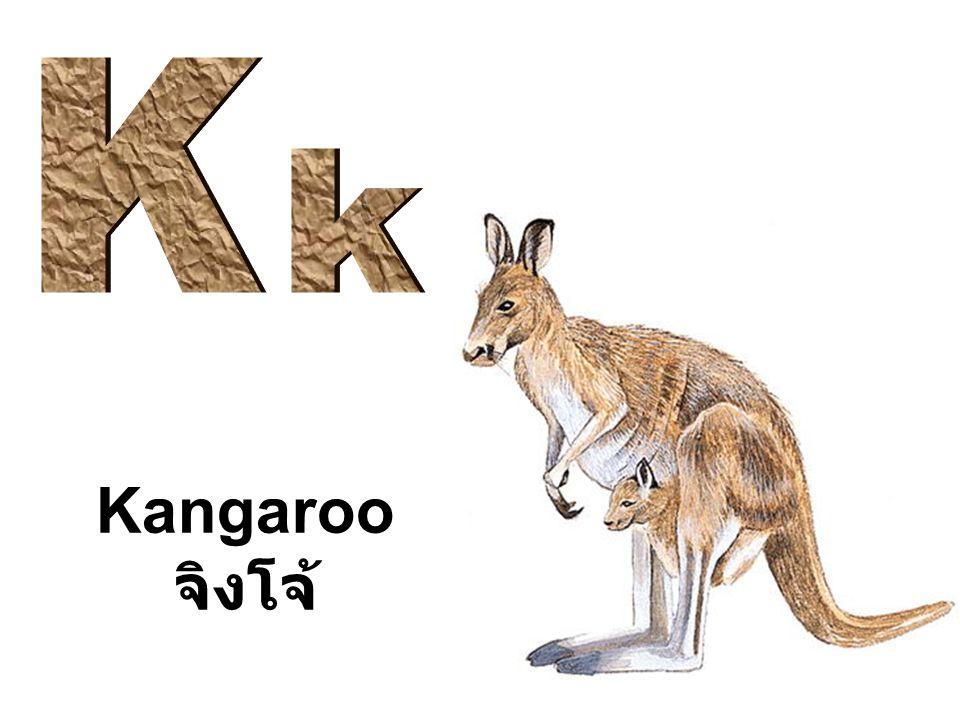 K k Kangaroo จิงโจ้