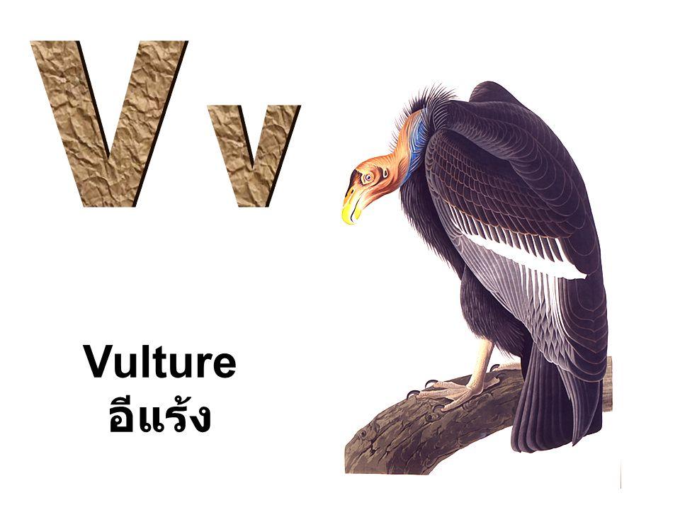 V v Vulture อีแร้ง