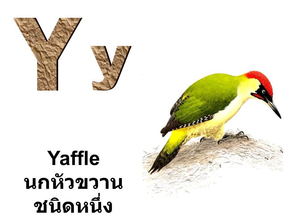 Y y Yaffle นกหัวขวานชนิดหนึ่ง